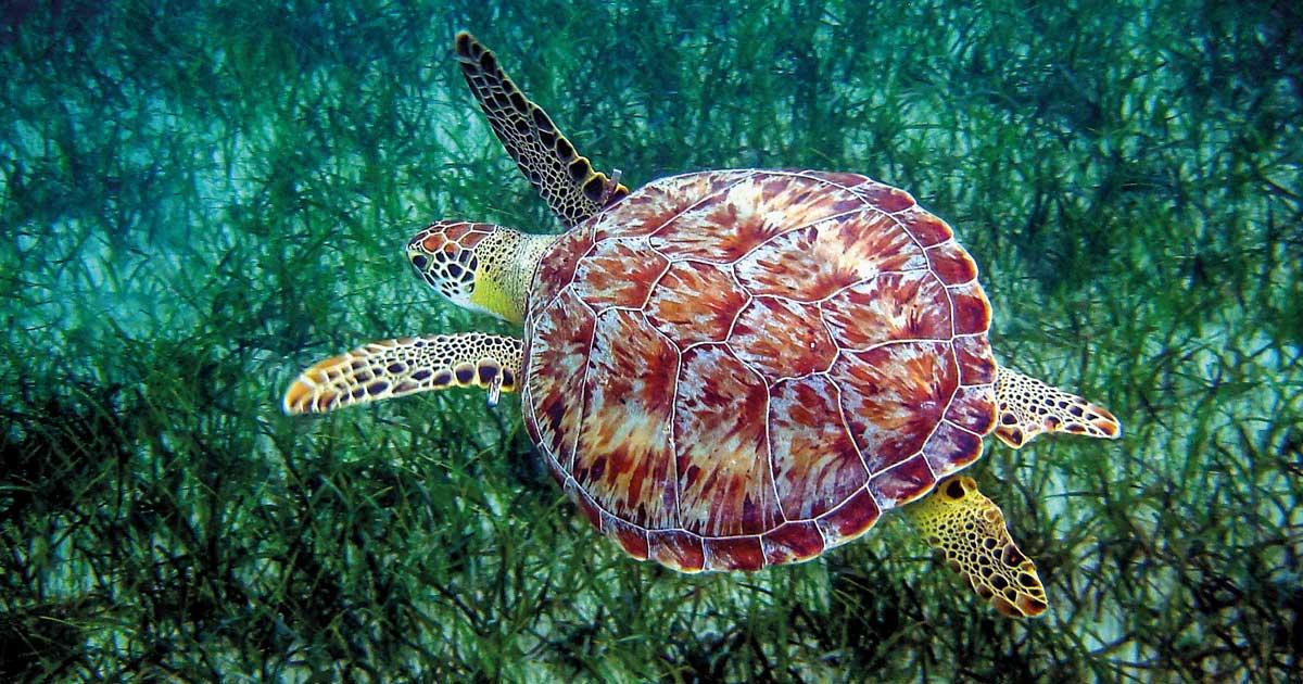 Tortue verte - îles Turks et Caicos. (C) Peter Richardson