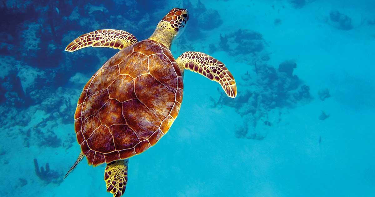 Tortue verte - Îles Turques et Caïques