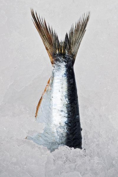 Poissons sur glace