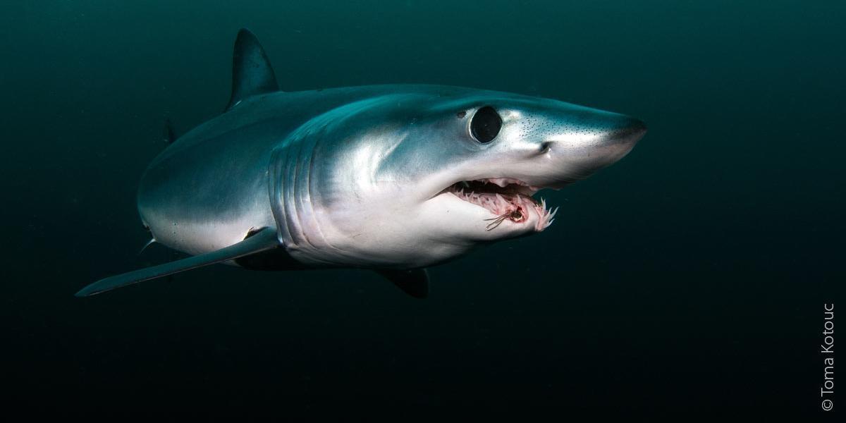 Requin à pointe courte Mako